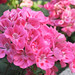Pink Bunch of Flowers