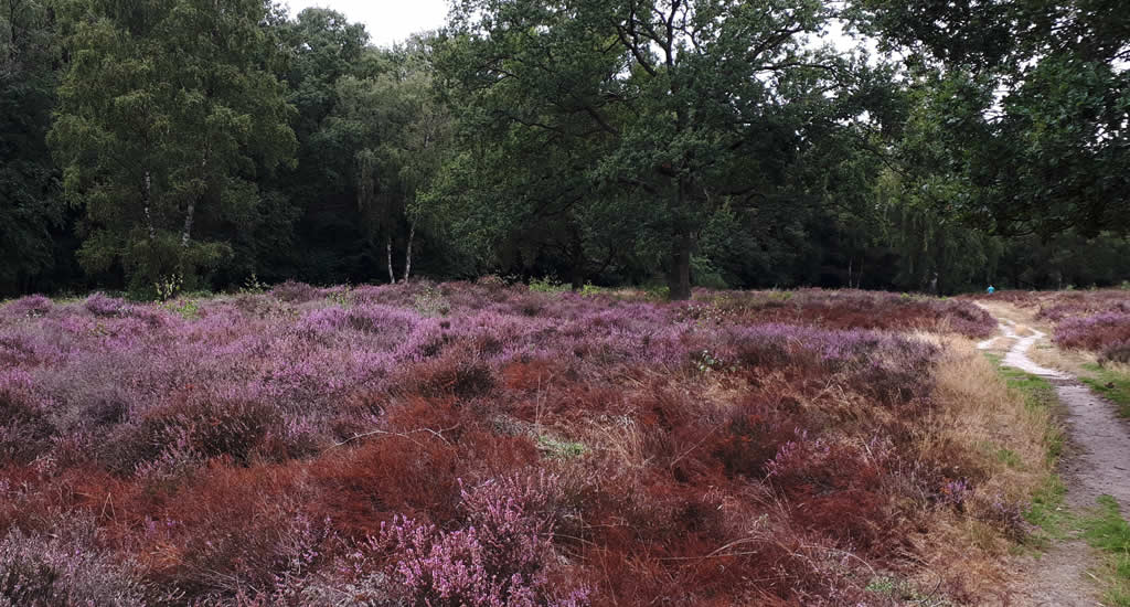 Nature in Holland, heather fields in bloom | Your Dutch Guide
