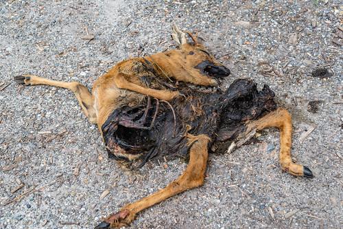 01-Un chevreuil écrasé par une voiture
