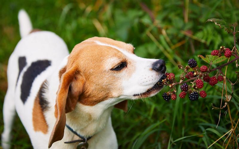 Blackberry Picking Beagle [5D4_3430]