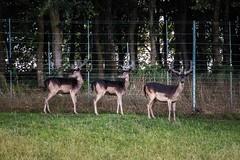 HFF deer