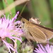 Swarthy Skipper at Sandy Hook, lifer