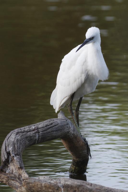 Sortie à la réserve ornithologique du Teich - 24 août 2018 43369646095_df2bf6d114_o