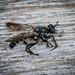 Violet Black-legged Robberfly - Dioctria atricapilla