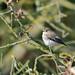 -Gobemouche noir - Ficedula hypoleuca-European Pied Flycatcher-( Explore 03.09.18)  9562_DxO.jpg