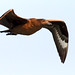 Great Skua flies by