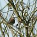 Fauvette des jardins-Sylvia borin - Garden Warbler  9634_DxO.jpg