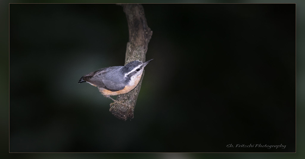 Red-breasted Nuthatch / Sittelle à poitrine rousse / Sitta canadensis