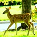 Fawn beside a tree, Alton, Illinois, Sept. 16, 2018