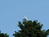 Photo:Intermediate egrets (チュウサギ) By Greg Peterson in Japan