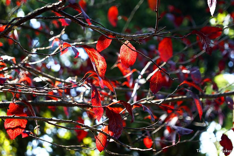Дерево с красными листьями в парке Тивата