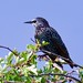 Starling (Sturnus vulgaris) - Taken at Wellingborough, Northants. UK