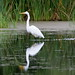 Great Egret - 6-1