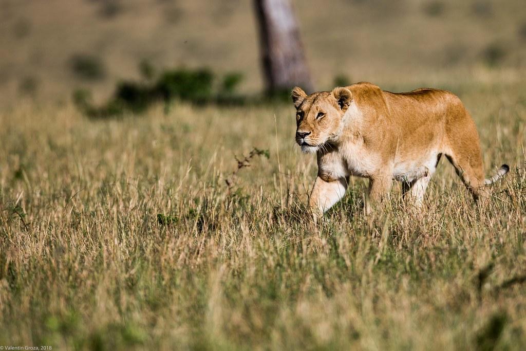 Maasai Mara_13sep18_16_leoaica solo