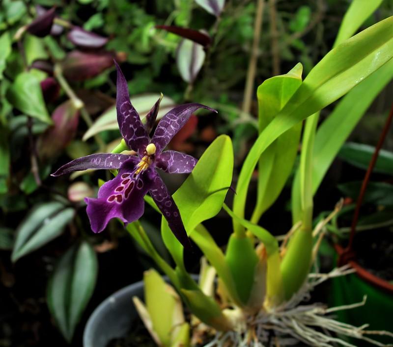orchidées - floraisons du moment 2018 - Page 4 44862307901_86e96b36bc_c