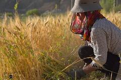 Cutting the stalks, a Wakhi lady harvesting barley  in Chapursan valley 06/08/2018 :copyright: Bernard Grua