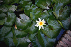 Lotus du Jardin de l'Alhambra