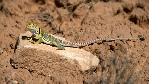 A green collared lizard at Butler Wash, Utah, USA