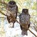 Powerful owl pair by ʘwl