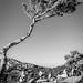 Noch'n Monolithos-Baum