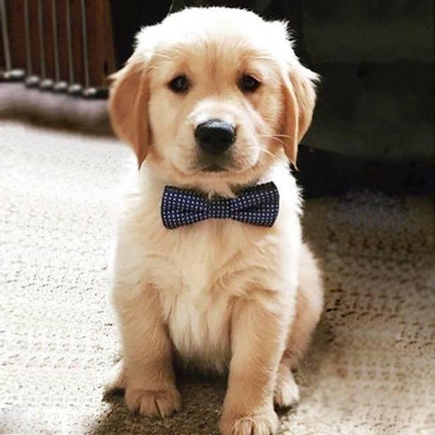 Akc Golden Retriever Puppies Text Us 216 930 7599 20295906 Flickr