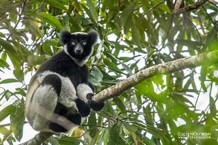 Indri lemur (Indri indri) - DSC_9000