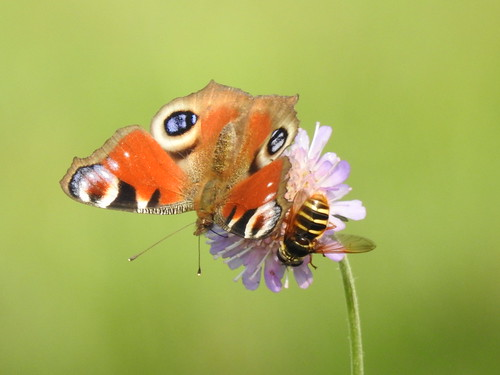 peacock inachisio tagpfauenauge päevapaabusilm butterfly p900 nikoncoolpixp900