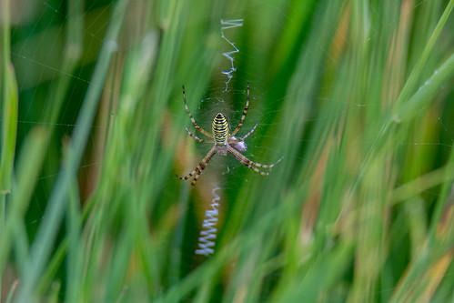 Wasp spider - Argiope bruennichi - Wespenspin