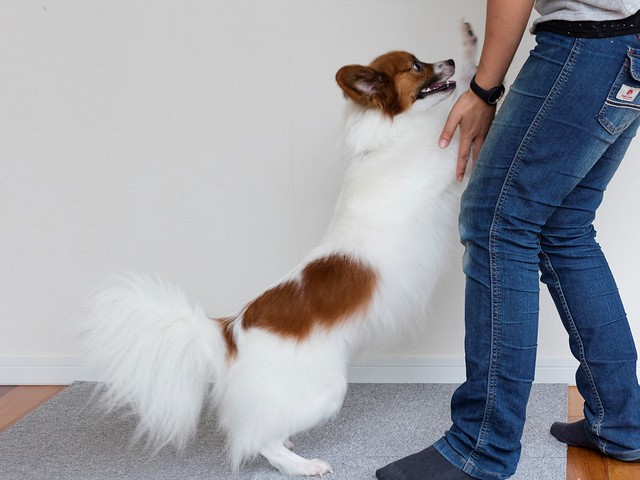 要求を通すために吠えようとする犬