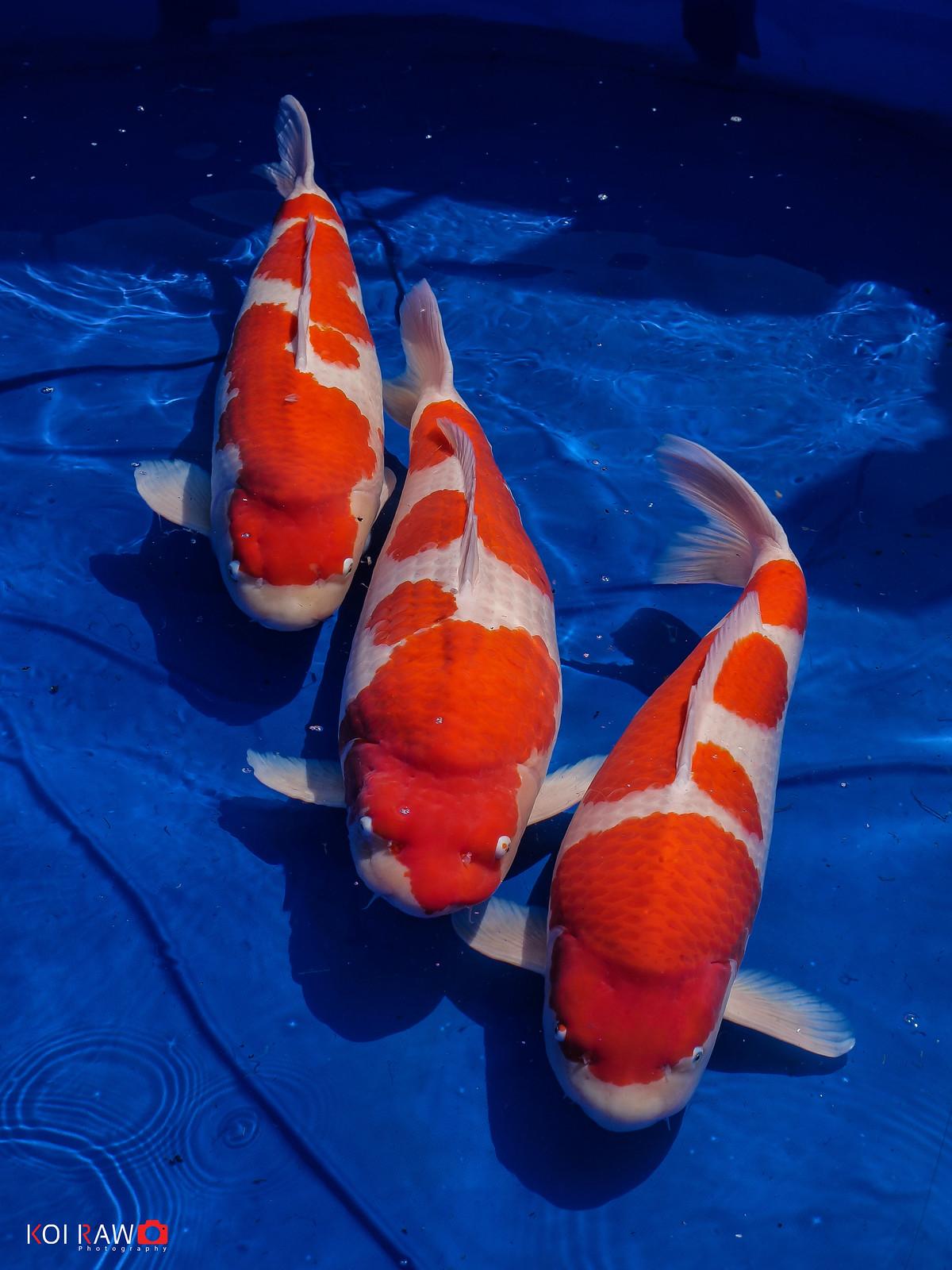 Yamatoya triplets