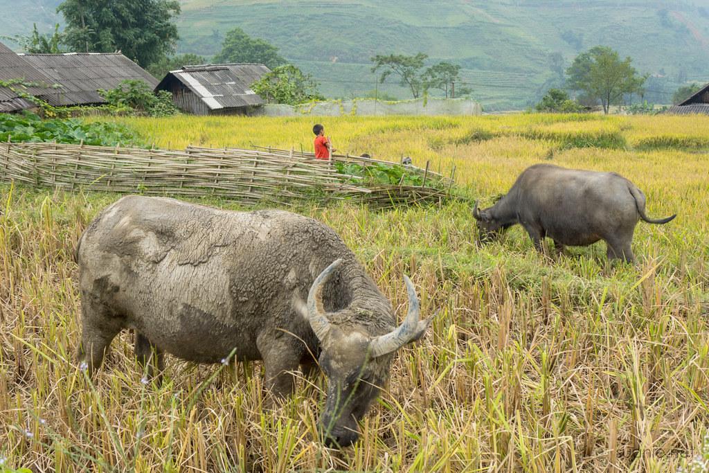 Sapa trekking - buffalo