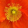 It's a red and yellow kind of day #poppies #tekuiti