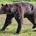 Ussuri brown bear (RIKU)