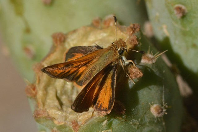 Grass-Skipper butterfly on a cactus fruit