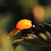 Seven-spot Ladybird (Coccinella septempunctata) Newly emerged 2/7