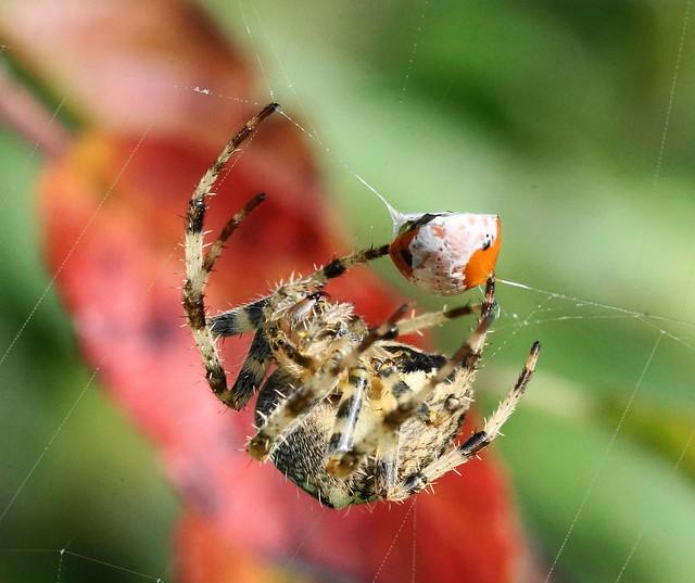 Araneus diadematus, Sony ILCE-6000, Sony FE 90mm F2.8 Macro G OSS