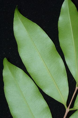 Syzygium claviflorum