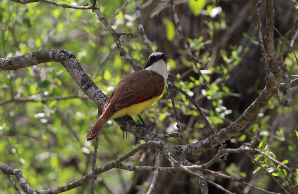 Great Kiskadee Benson State Park  4-18
