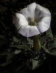 29471623817 b85da21ec2 m - Lighting Up A Datura Flower