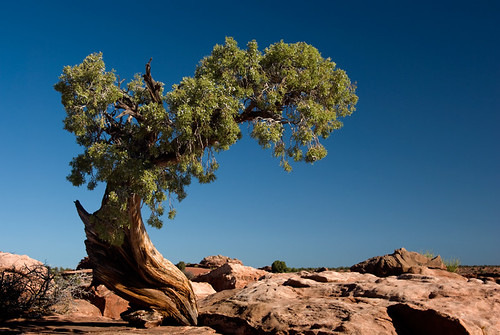 A twisted tree at Island in the Sky sandstone formations at Canyonlands National Park in Utah, USA