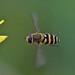 Syrphus sp. (f)