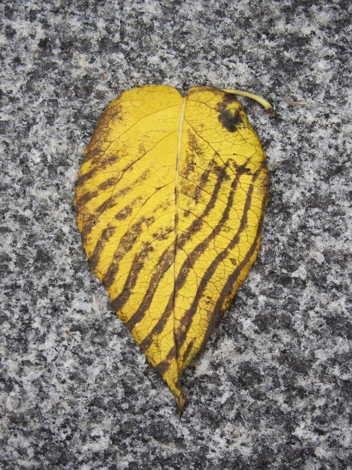 Single autumn leaf with dark wavy lines - traces of shoeprint on it
