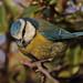BLUE  TIT  //  PARUS  CAERULEUS (11cm)