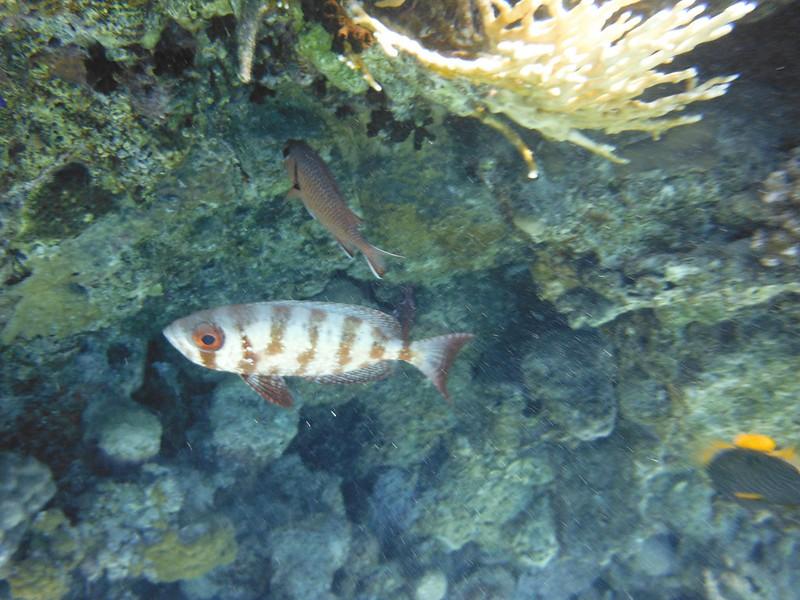 Бычеглаз хамрур (Priacanthus hamrur)Планктон (πλαγκτόν)DSCF5027
