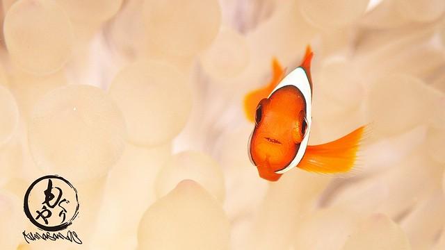 ハマクマノミ幼魚ちゃんはかなり成長してきてます