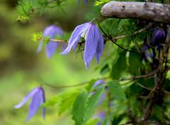 clematide alpina