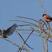 Spotted Flycatcher & Bullfinch