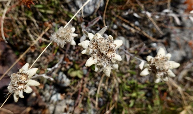 Found some edelweiss!
