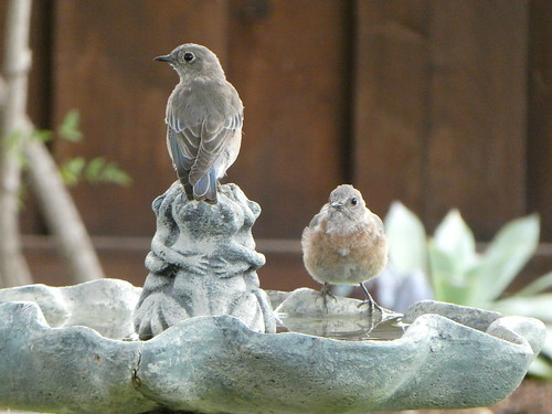 2018-09-12 - Birds in our Birdbath and Fountain