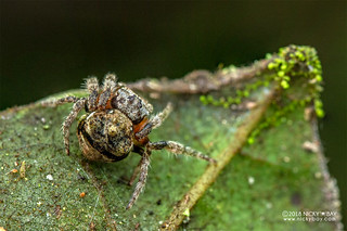 Broad-headed bark spider (Caerostris sp.) - DSC_2833